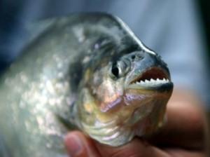 Кусачие рыбы в США