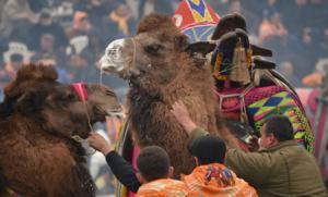 Экзотика и древняя традиция Турции – фестиваль верблюжьи бои