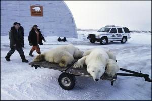 Охота на белого медведя в Заполярье